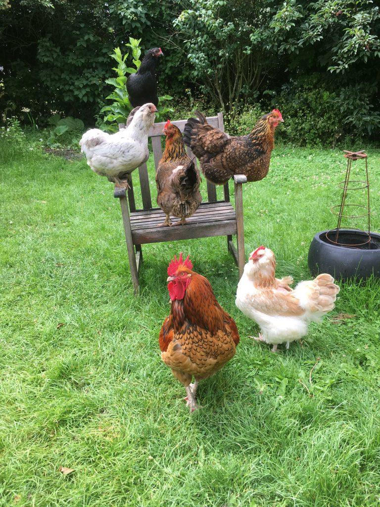 Høns går frit